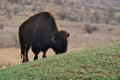 Buffalo at the Wichita Mountains